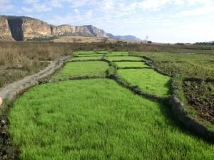 rizières devant le plateau de l'Isalo