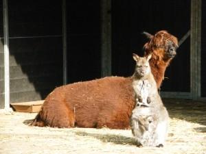 Lama et kangourou font bon ménage