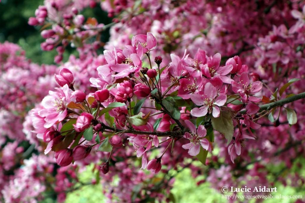 Fleurs rose wimbledon