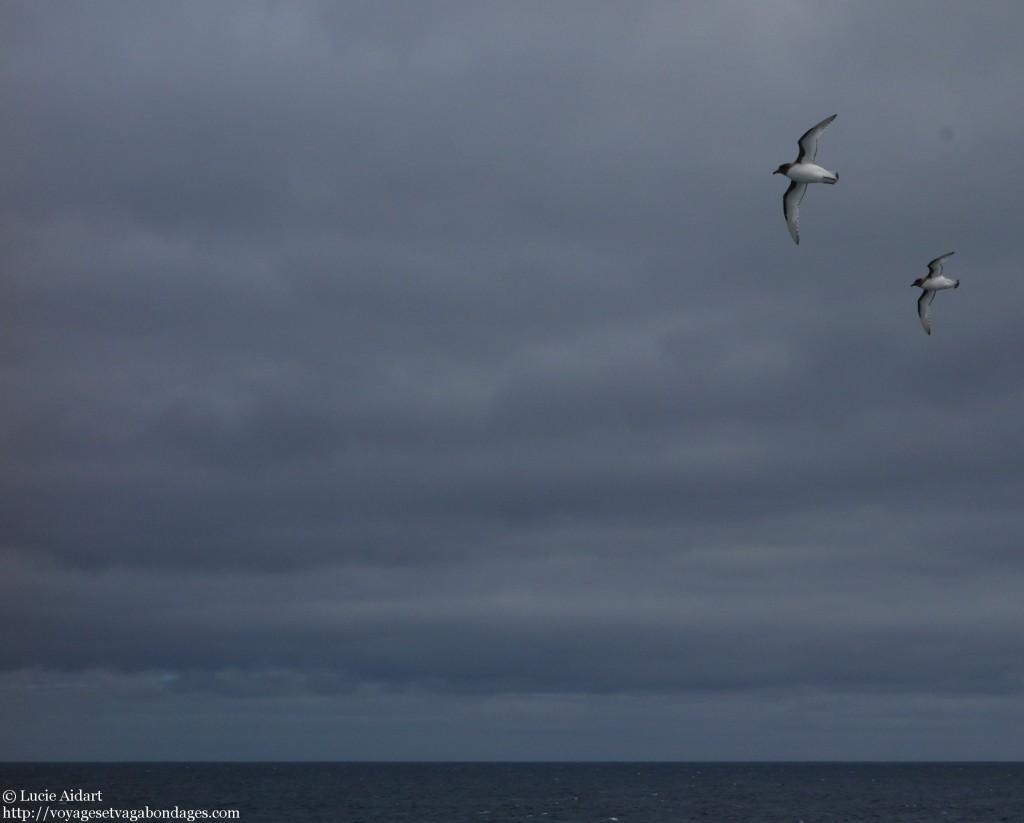 Oiseaux dans le Passage de Drake