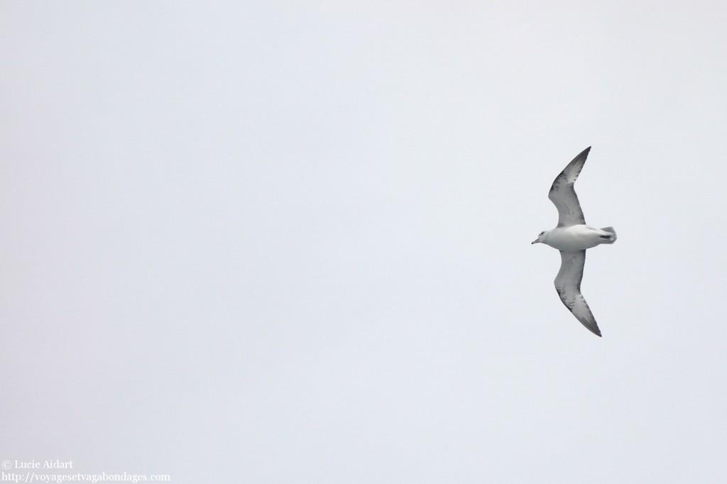 Oiseaux dans le Passage de Drake lors d'un voyage en Antarctique