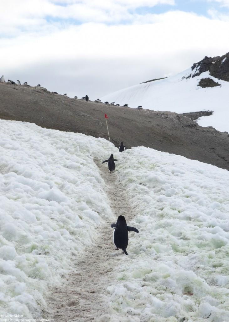 A la queue leu leu, les manchots en Antarctique