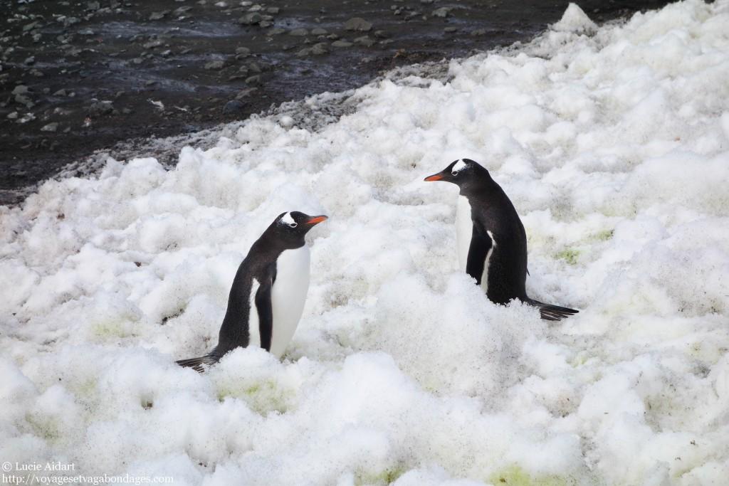 Manchots papous en Antarctique