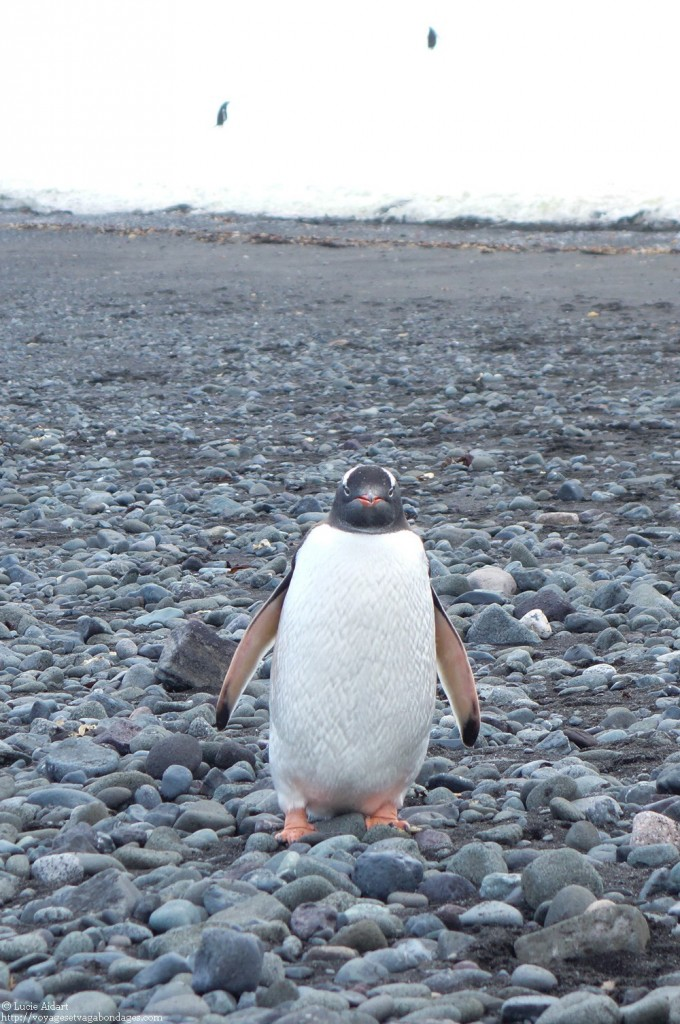 Manchot papou en Antarctique