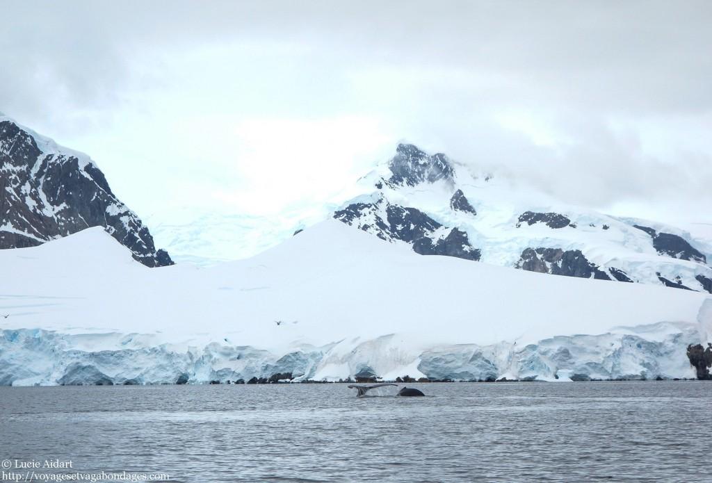 Queue de baleine photographiée lors d'un voyage en Antarctique
