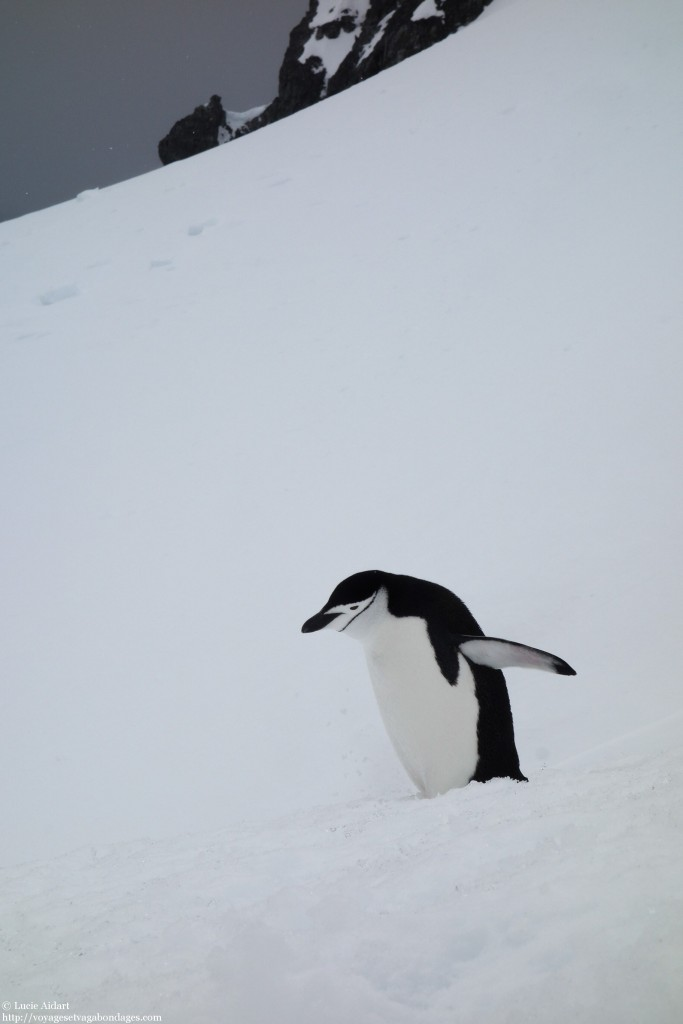 Manchot en Antarctique