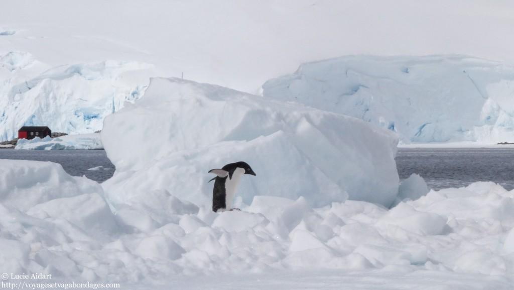 Manchots Adélie - Le denier jour en Antarctique