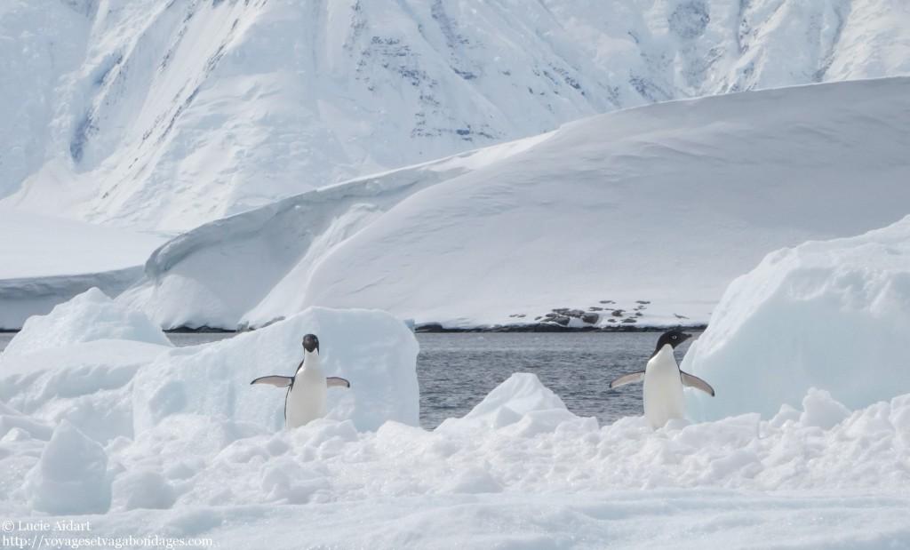 Manchots Adélie en Antarctique - Le denier jour en Antarctique