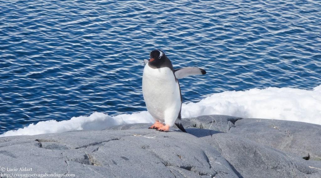Manchot en Antarctique - Le denier jour en Antarctique
