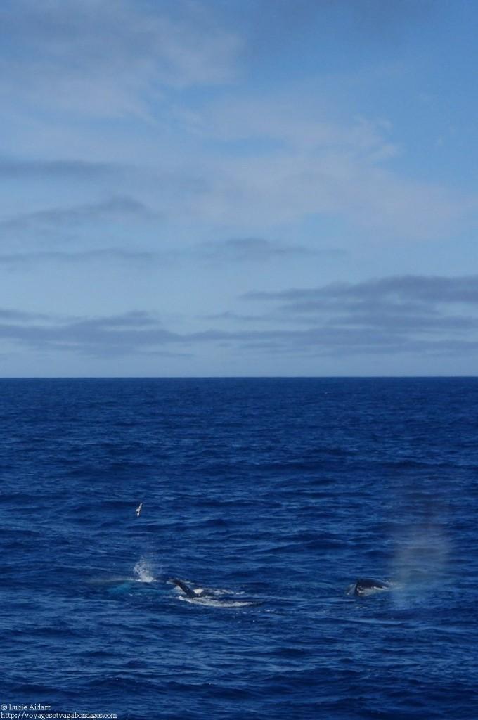 Baleine à bosse lors d'un voyage en Antarctique