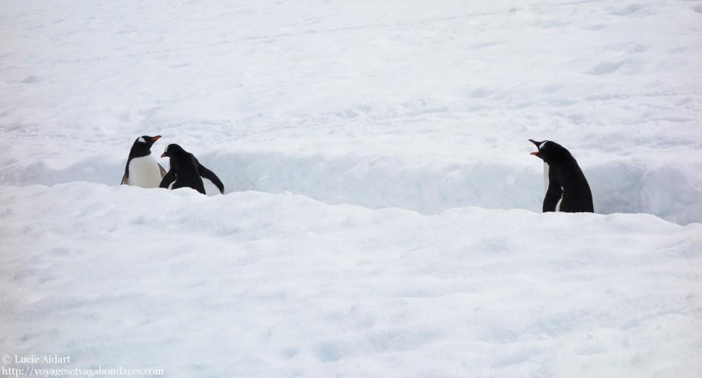 Les autoroutes à manchots en Antarctique... il y a des embouteillages