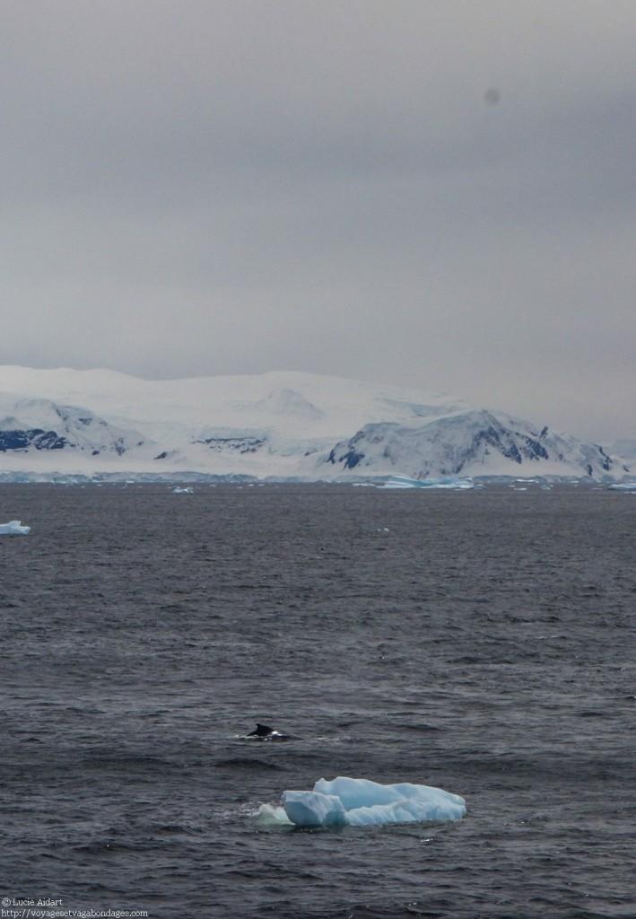 Baleine droit devant