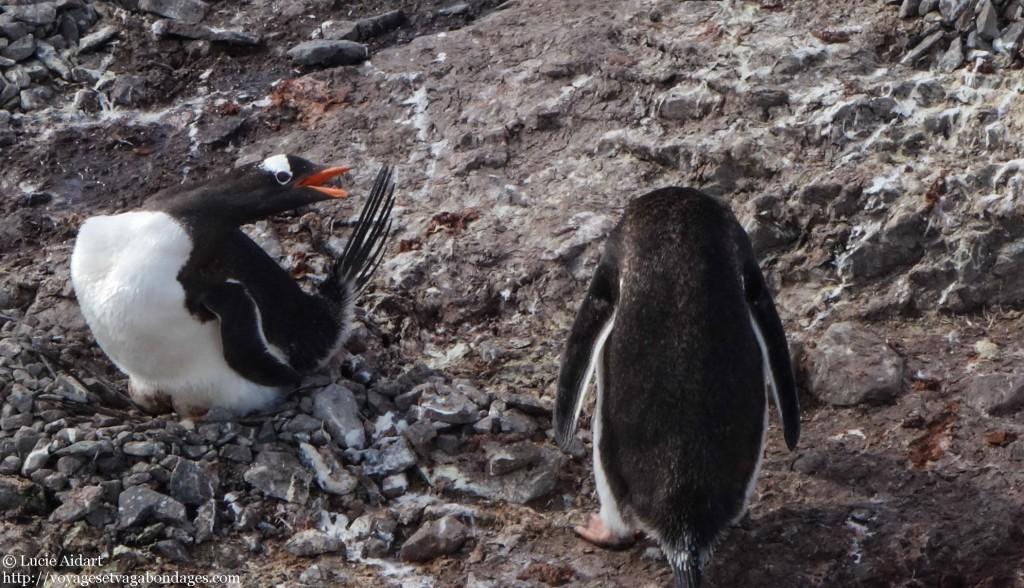 Manchot qui vole une pierre en Antarctique