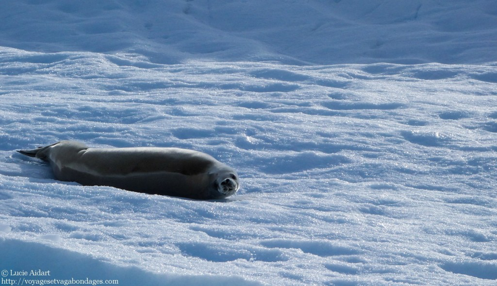 Phoque crabier - Fêter Noël en Antarctique