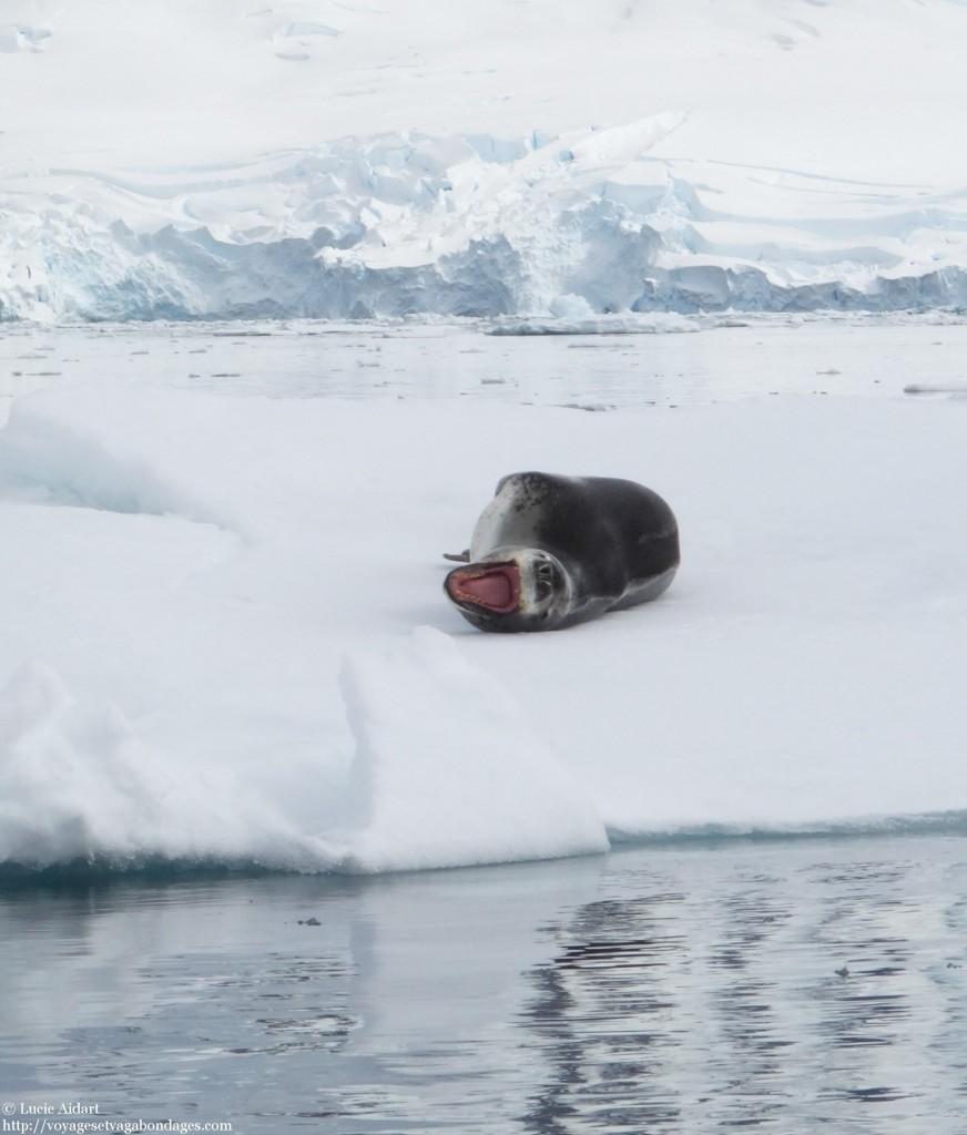 Léopard de mer - Le denier jour en Antarctique