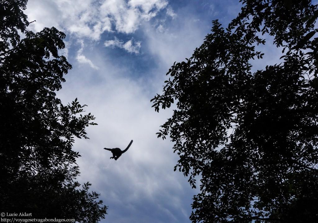 Singe volant