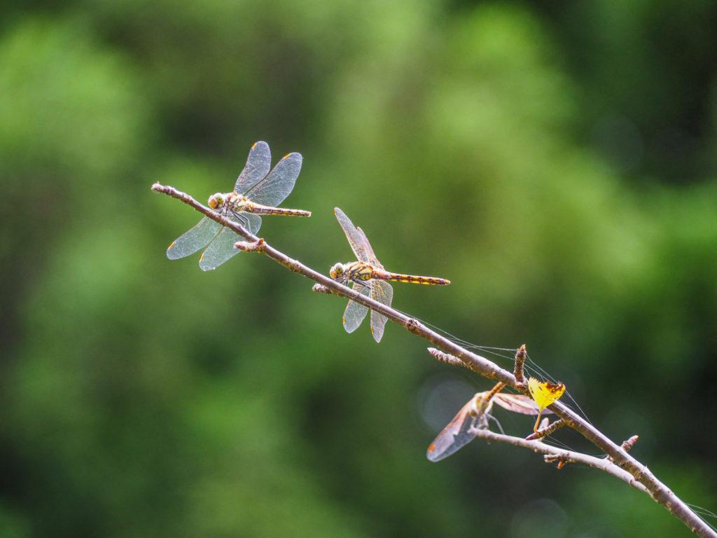 Les libellules de Kanmangafuchi Abyss à Nikko