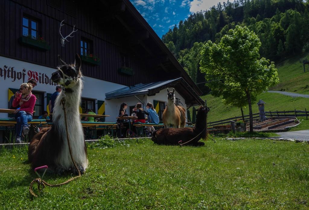 Rando-lama au Tyrol