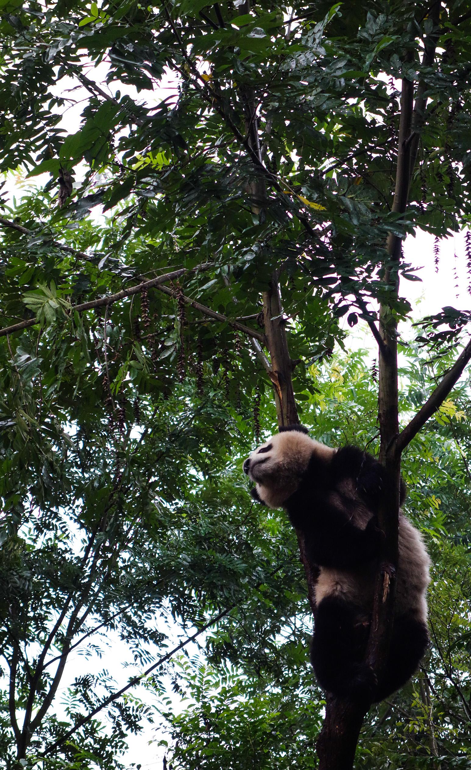 Les pandas de Chengdu
