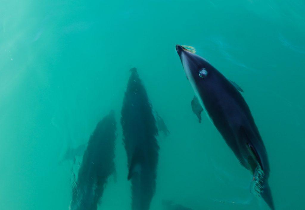 Nager avec des dauphins sauvages et obscurs en Nouvelle-Zélande
