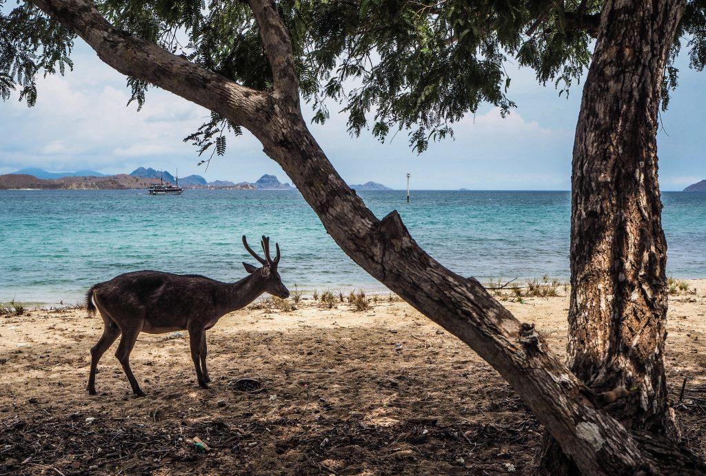 Faune sur l'île de Komodo (ou nourriture pour dragon de Komodo)