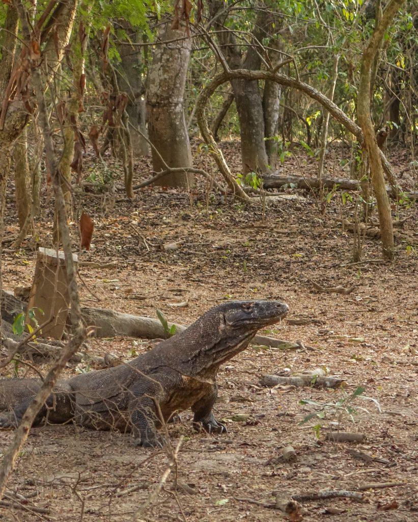 Rencontre avec un dragon de Komodo sur l'île de Komodo