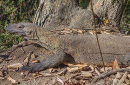 Voir les dragons de Komodo à Komodo et Rinca
