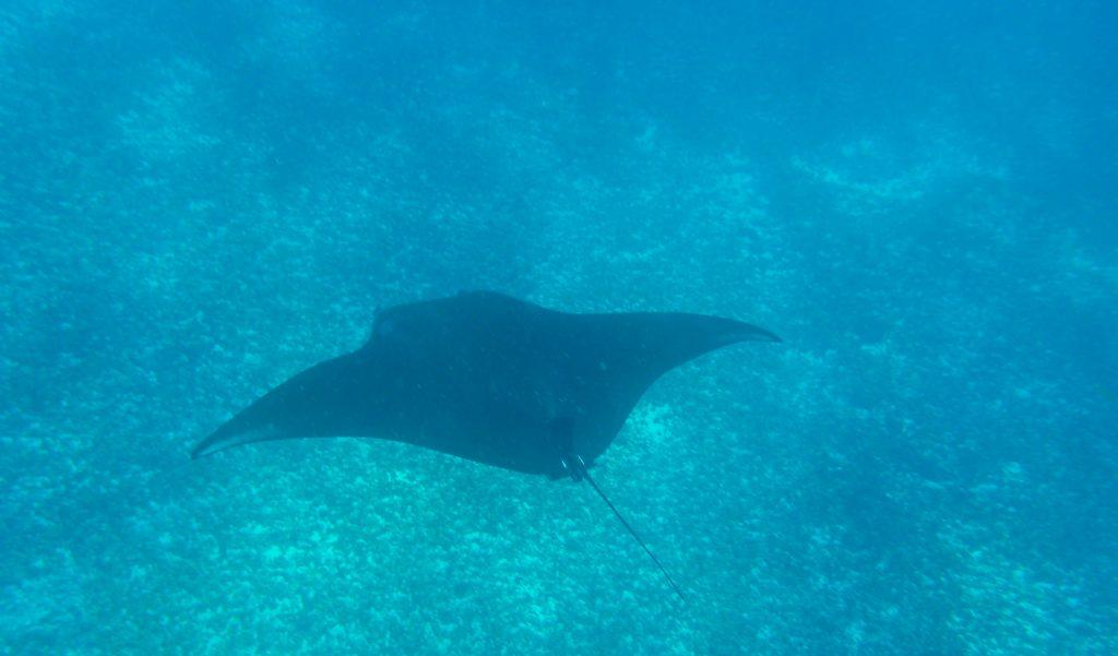 Faire du snorkeling avec des raies manta à Manta Point, à Komodo