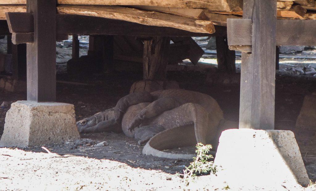 Accouplement de dragons de Komodo sur l'île de Rinca