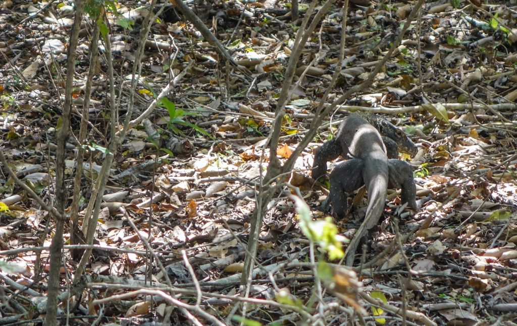 Voir les dragons de Komodo sur l'île de Komodo