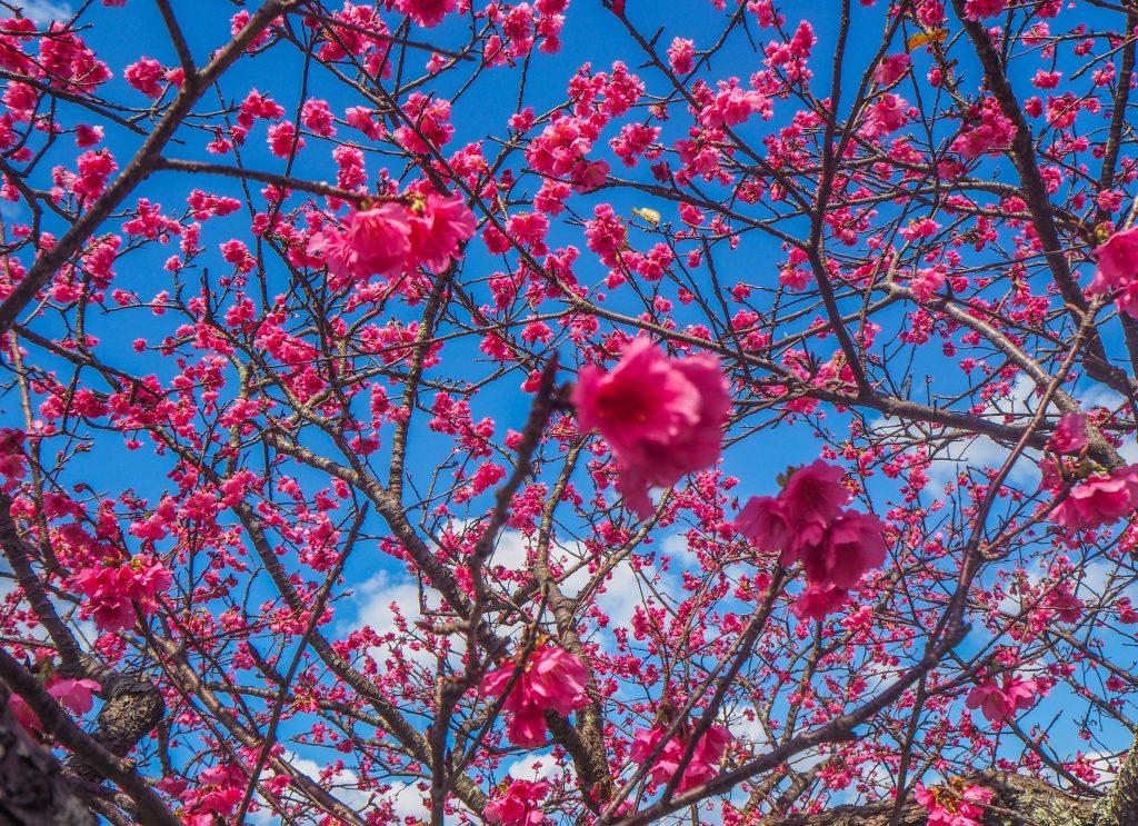 Voir la floraison des cerisiers à Okinawa au Japon:le festival du château de Nakijin