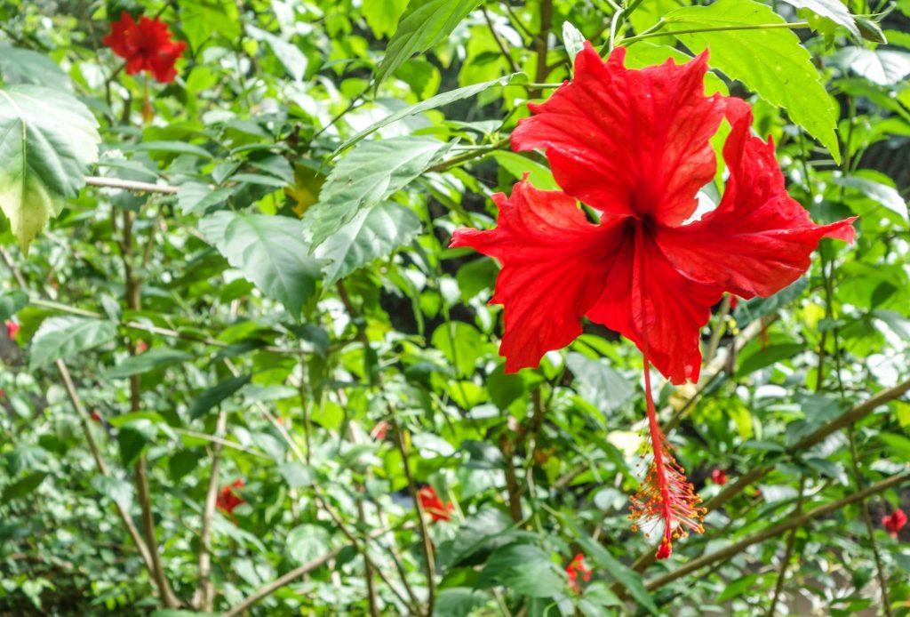 Fleur rouge au Laos - Passage de la frontière terrestre de la Chine au Laos, entre Xishuangbanna et Luang Namtha - Récit et retour d'expérience. Tour du monde - Bienvenue au Laos