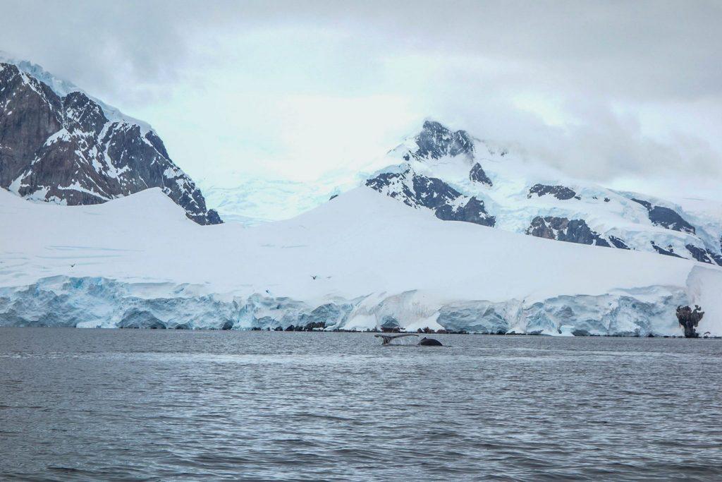 Baleine en Antarctique - Comment préparer son voyage en Antarctique? Le guide pratique complet pour tout savoir: budget, itinéraire, activités, équipement, faune, voyage responsable, quelle croisière choisir, que faire en Patagonie et où dormir à Ushuaia...