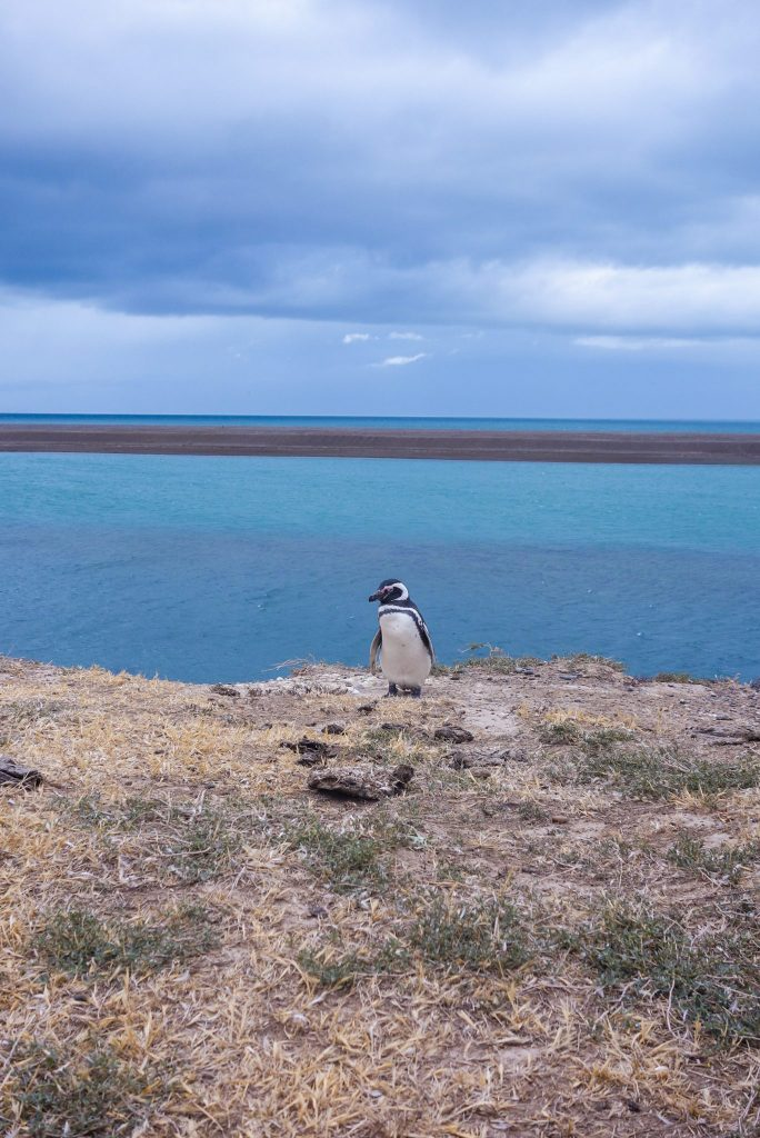 Manchot Magellan à Punta Tombo à Puerto Madryn - Patagonie hors des sentiers battus - Patagonie argentine maritime