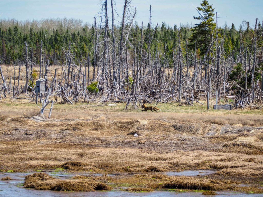 Renard aperçu en Acadie au Canada - Itinéraire de road-trip au Canada - 15 jours entre le Bas Saint-Laurent, la Gaspésie et le Nouveau-Brunswick