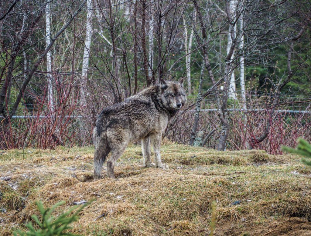 Loup au zoo sauvage de Saint-Félicien - Visiter la région du Saguenay Lac Saint-Jean