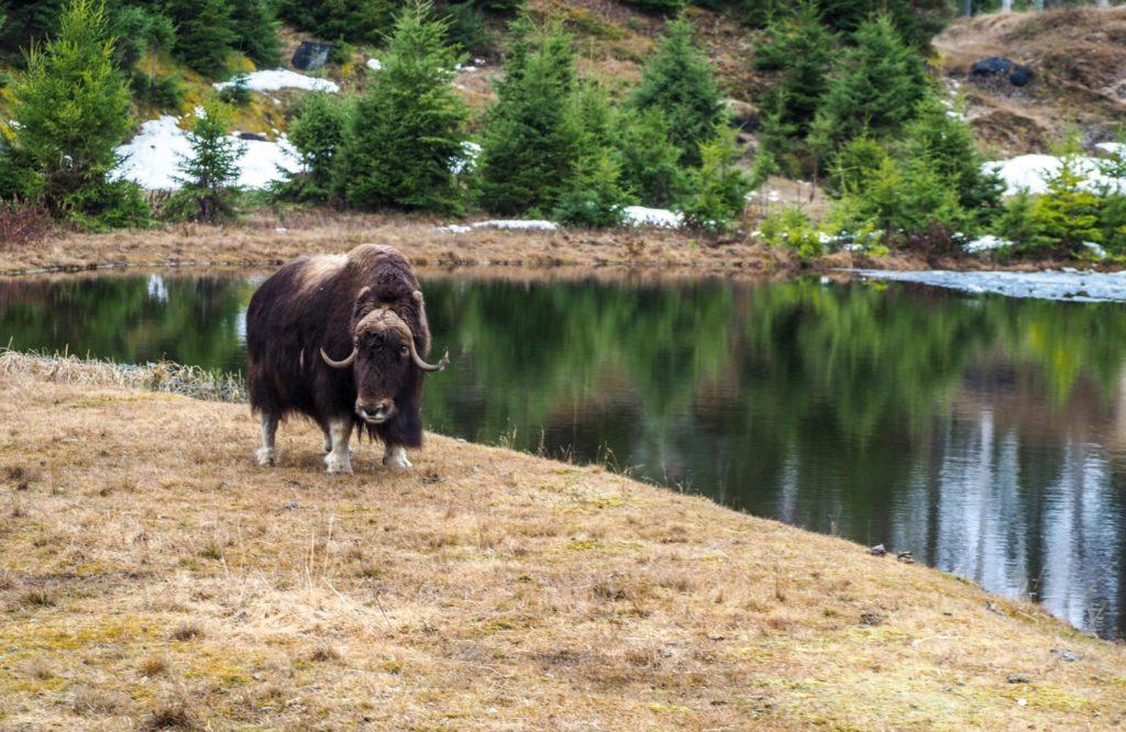 Zoo sauvage de Saint-Félicien - Visiter la région du Saguenay Lac Saint-Jean